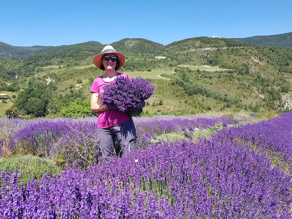 Récolte bouquets de lavande extra-bleue