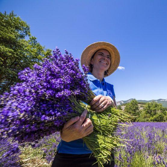 Récolte de bouquet de lavande fine extra-bleu