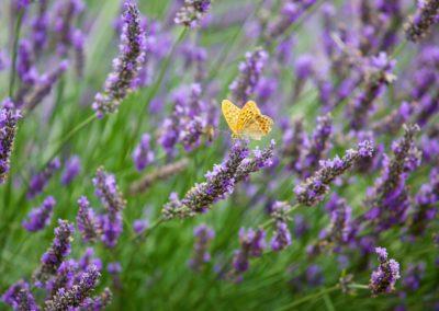 Lavandin en fleur Orpierre avec papillon