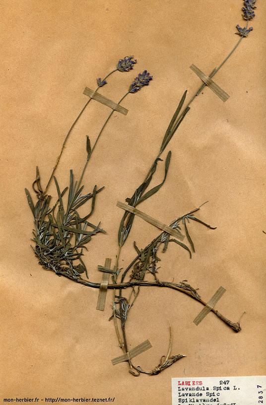 Herbier Lavande fine